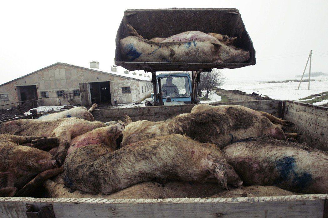 烏克蘭豬:被撲殺的非洲豬瘟病豬。 圖/美聯社