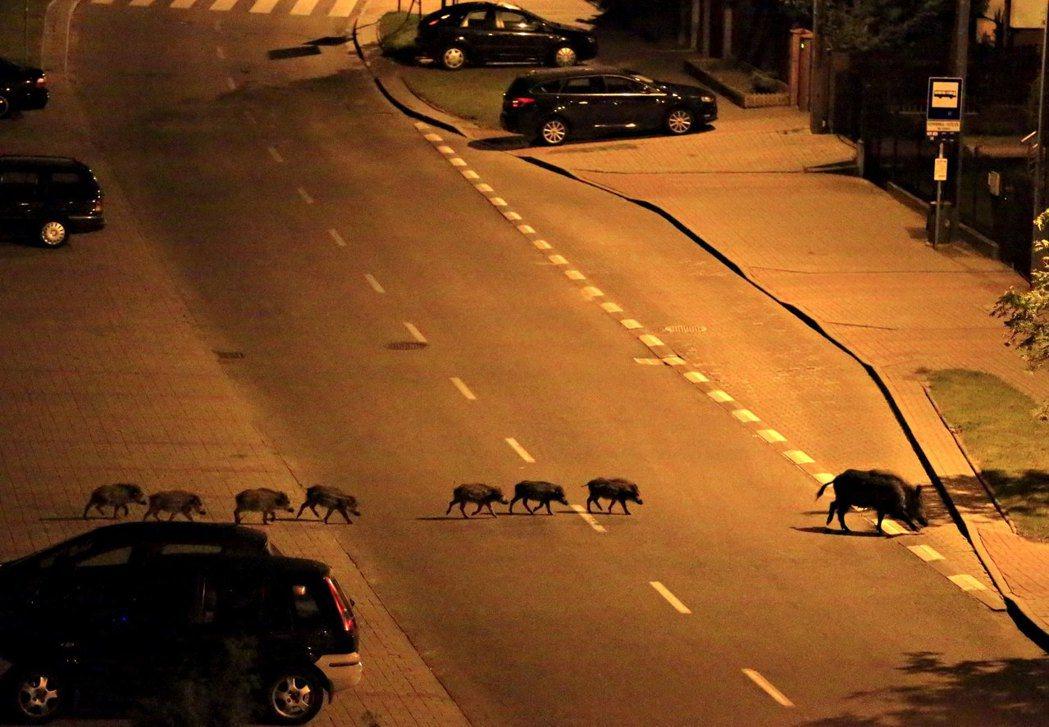 波蘭野豬:野豬也是群居。 圖/美聯社