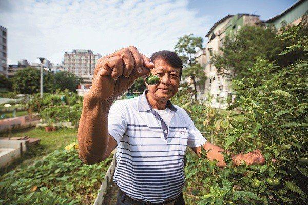 松山區復建里的幸福農場栽種番茄等食蔬。(攝影/王漢順)
