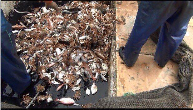 非法電魚的漁獲全部被查扣。圖/淡水海巡隊提供