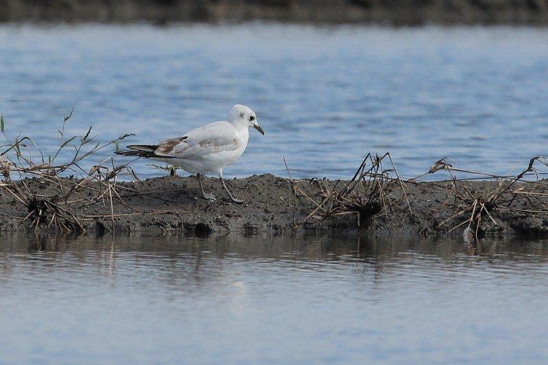 國際保育鳥類─黑嘴鷗也來造訪(圖片為林哲安提供)。