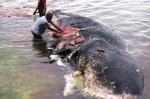 印尼國家公園人員19日將手探進抹香鯨胃內,挖出大量塑膠垃圾。圖/路透社