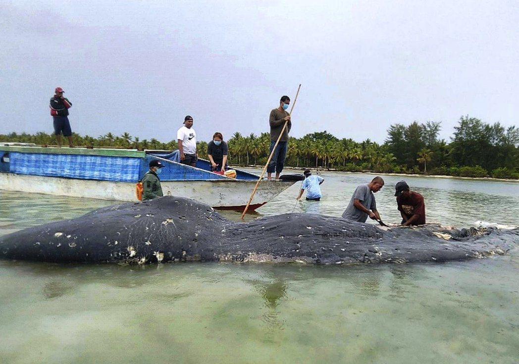 印尼研究人員正調查這頭抹香鯨的死亡原因。圖/美聯社