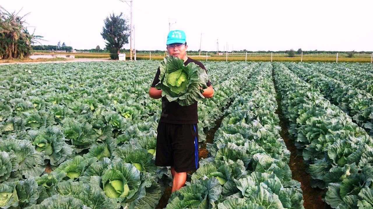 芳苑鄉青農洪寶評不忍長得漂亮的高麗菜又要耕鋤當綠肥,嘗試推出親子採高麗菜樂,每顆...