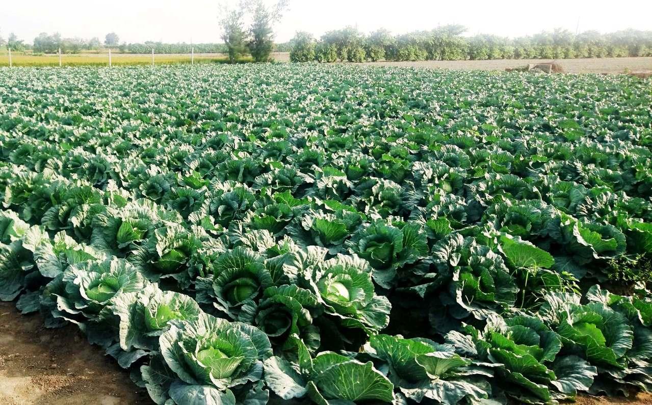 彰化縣竹塘、二林、大城和芳苑地區的冬季高麗菜又豐收,都出現嚴重滯銷困境。記者何烱...