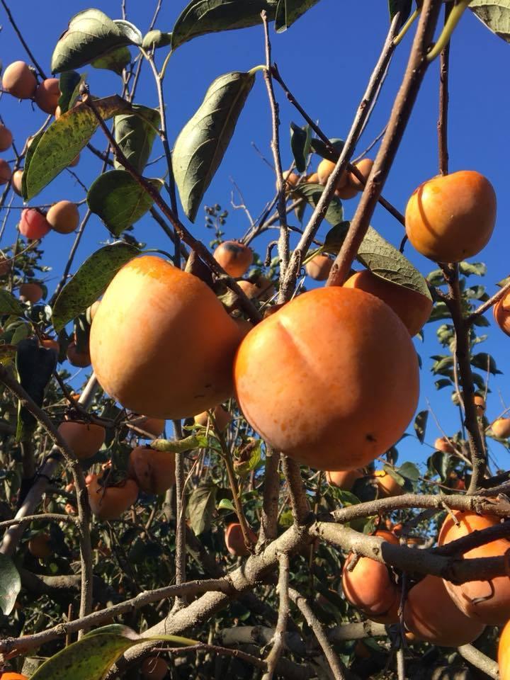 鑽石蜜柿。圖/柿子哥農場提供