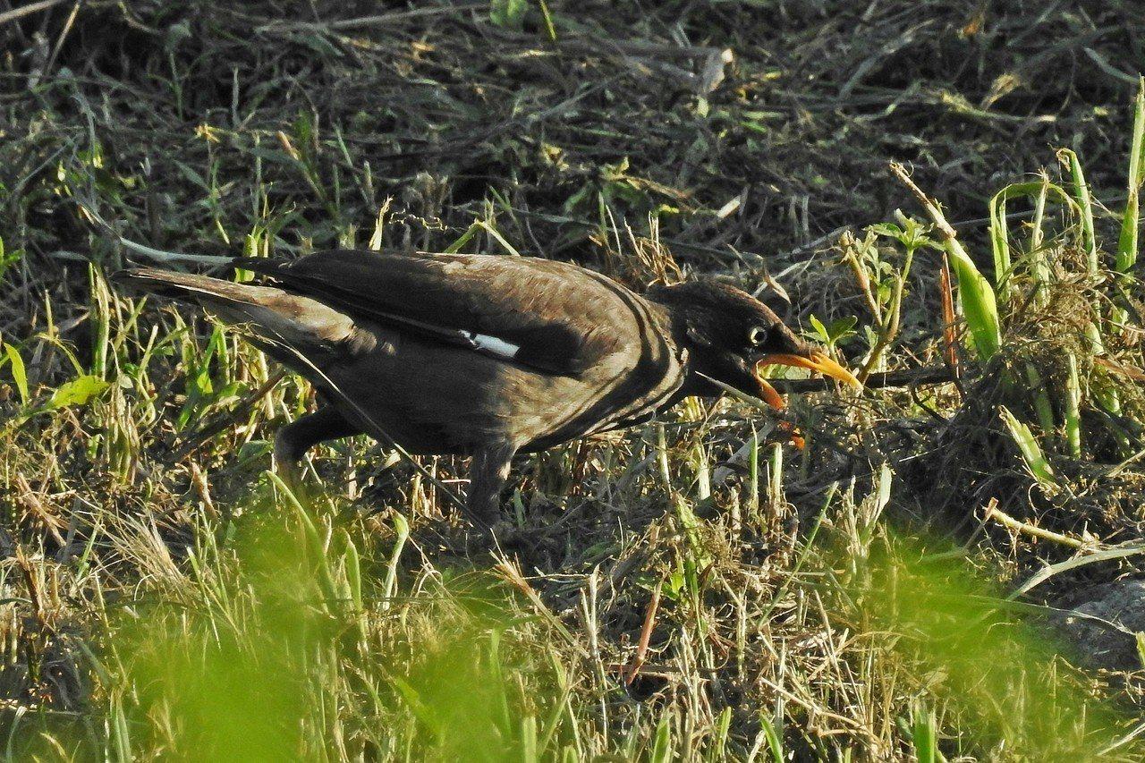 外來種八哥鳥喙、雙腳呈現橙橘色,在野外十分常見。記者曾健祐/攝影