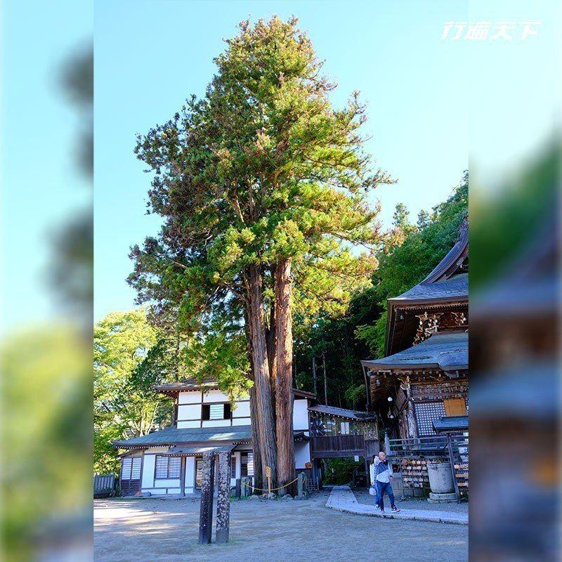 本堂旁更有一對相依偎的夫妻樹,緊密連結象徵永不分離。  攝影|行遍天下