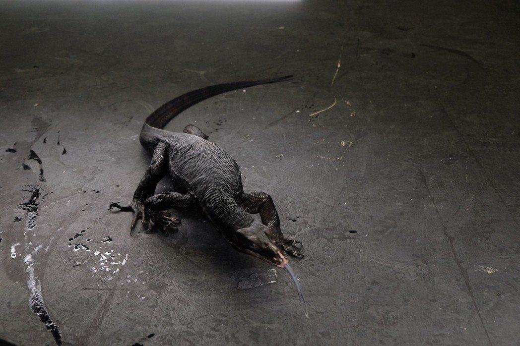 徐若瑄拍攝新歌「不值得」MV,借來大蜥蜴當道具。圖/滾石唱片提供