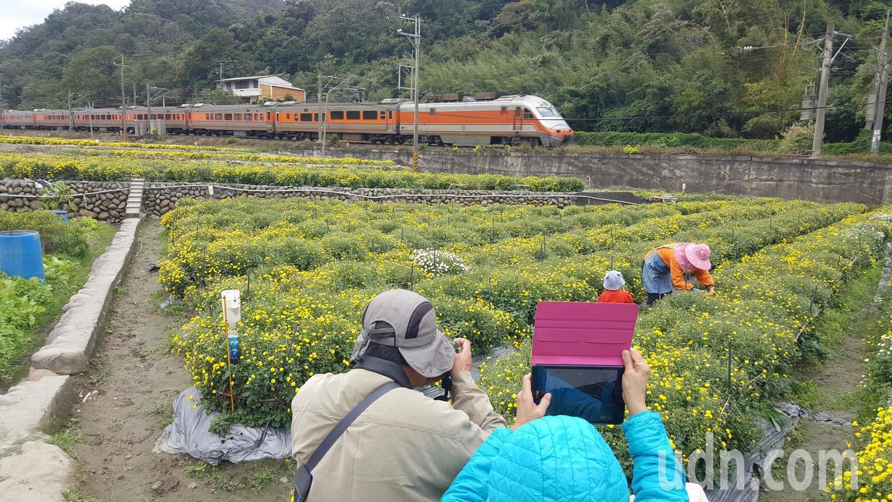 銅鑼鄉樟樹村邱家古厝旁的花田,今年爆紅成了新的杭菊「攝影祕境」。記者胡蓬生/攝影