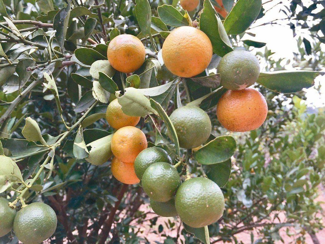 自栽柑橘是釀醋材料 圖/朱慧芳
