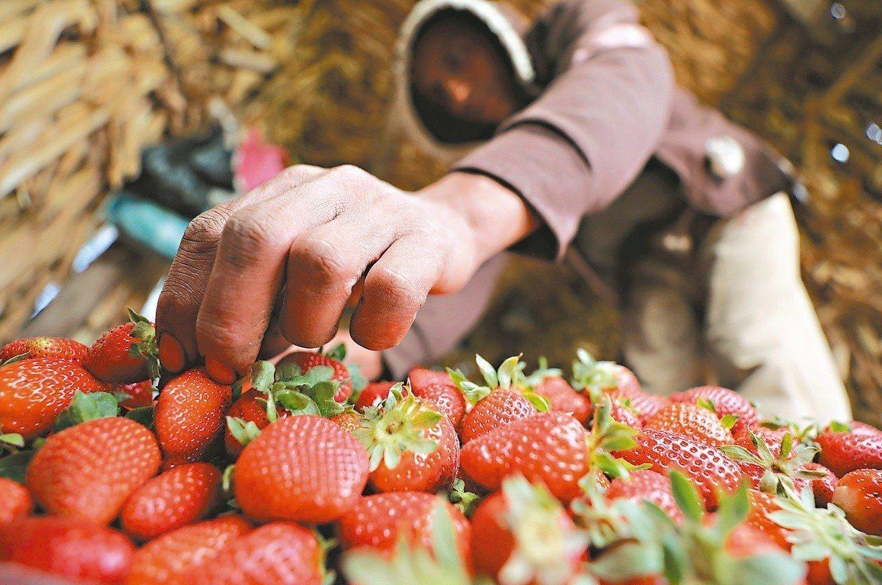 草莓示意圖。路透