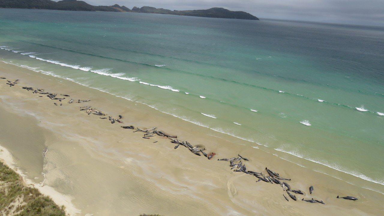紐西蘭多達145頭領航鯨在一偏遠海岸擱淺,半數已經死亡。 歐新社