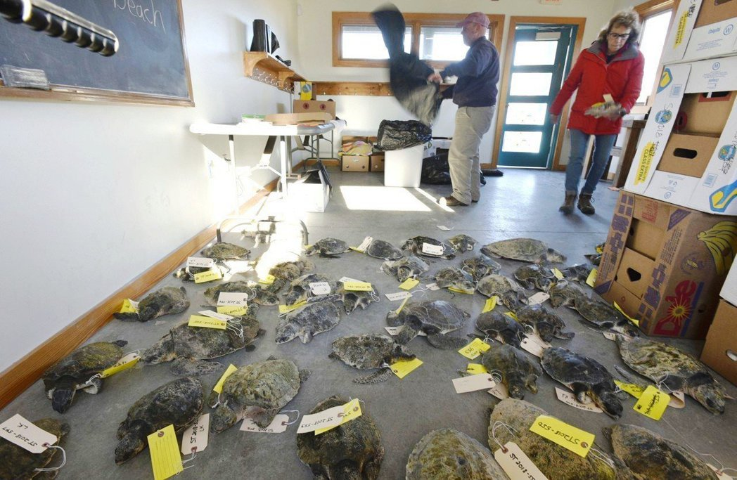 美國麻薩諸塞州鱈角沿岸近日有多達227隻海龜遭沖上岸。圖/美聯社
