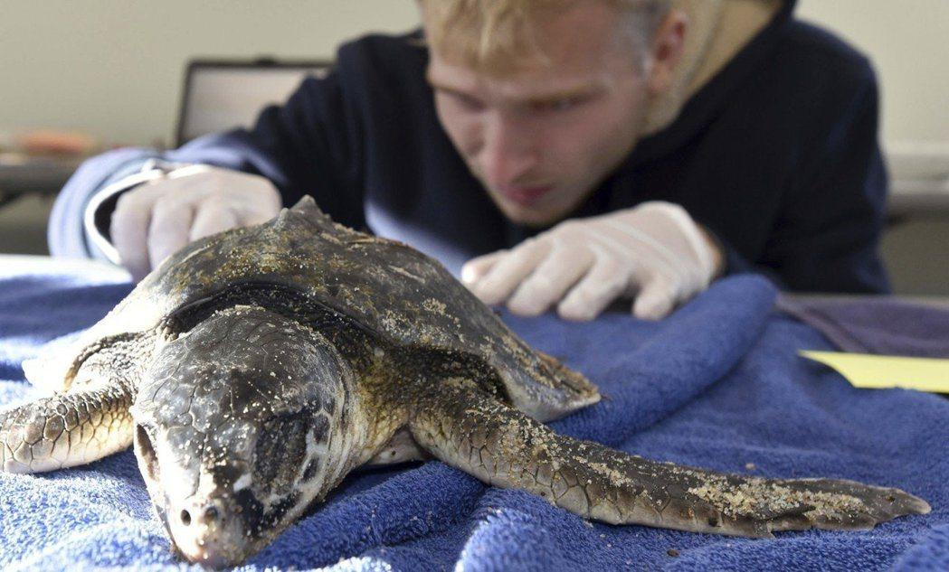 美國麻州有多達227隻海龜遭沖上岸,專家認為氣候暖化是禍首。圖/美聯社