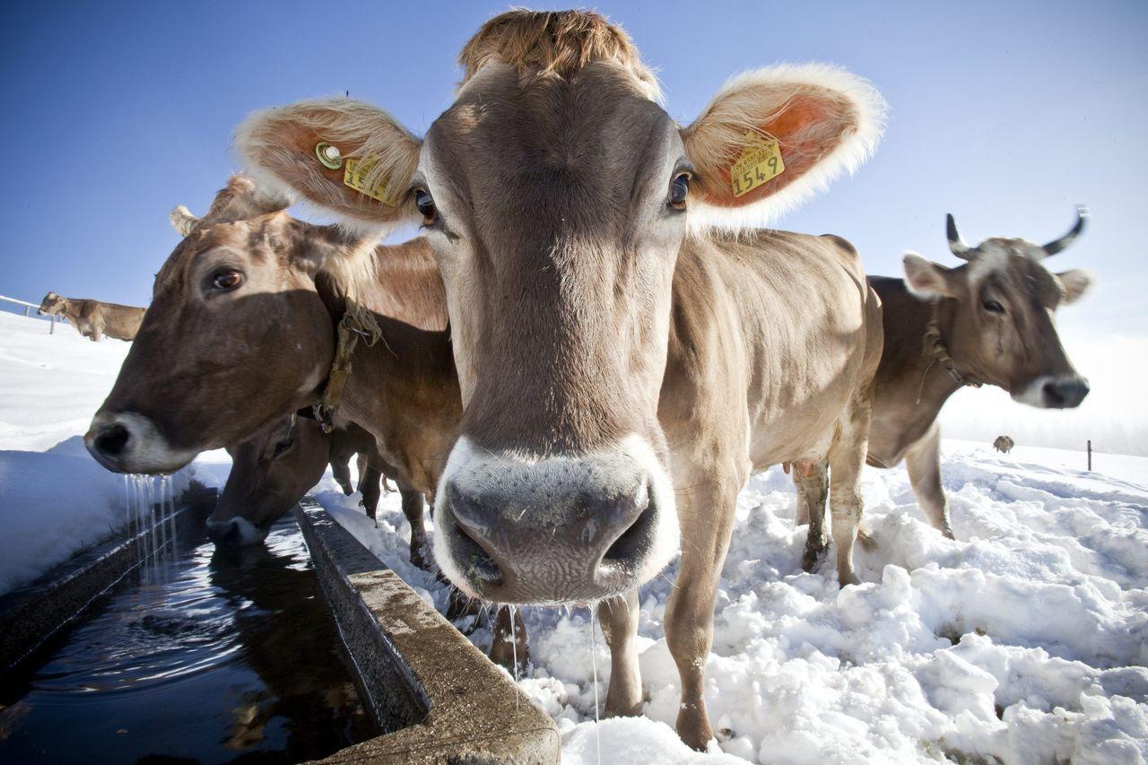 瑞士選民否決政府該補貼保留牛角的農民的提案。美聯社