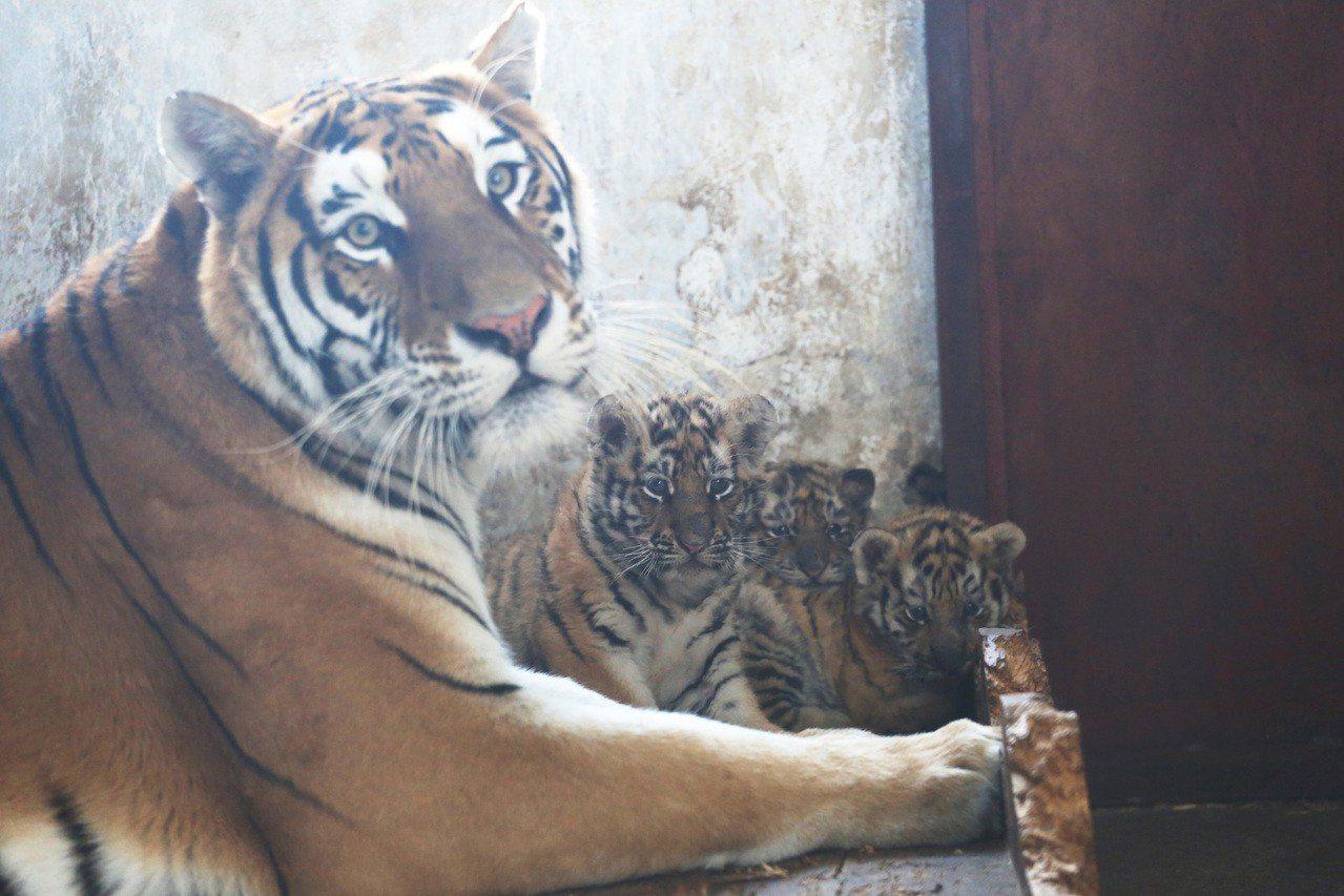 """11月23日,剛出生一個多月的小東北虎和""""虎媽""""在一起。位於哈爾濱的黑龍江東北虎..."""