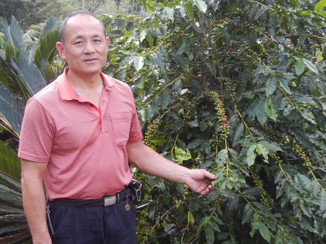 新北市中和區橫路里里長呂星輝12年前成功移植一株從日治時期至今的百年咖啡樹,在海...