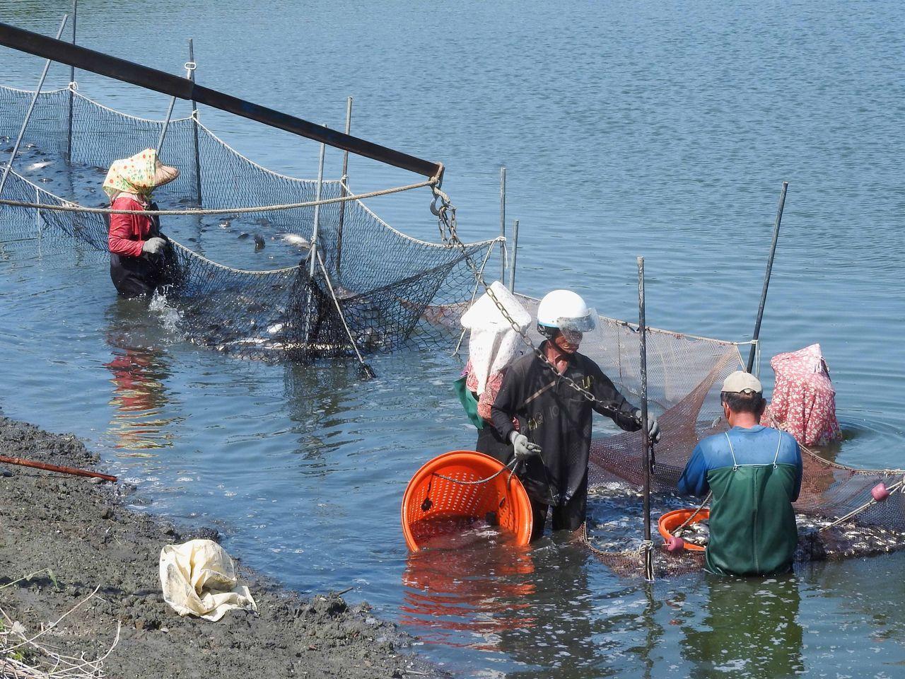 漁業界指養殖業近年外銷失利悶了很久,這股民怨讓民進黨選票掉很多。 圖/聯合報系資...