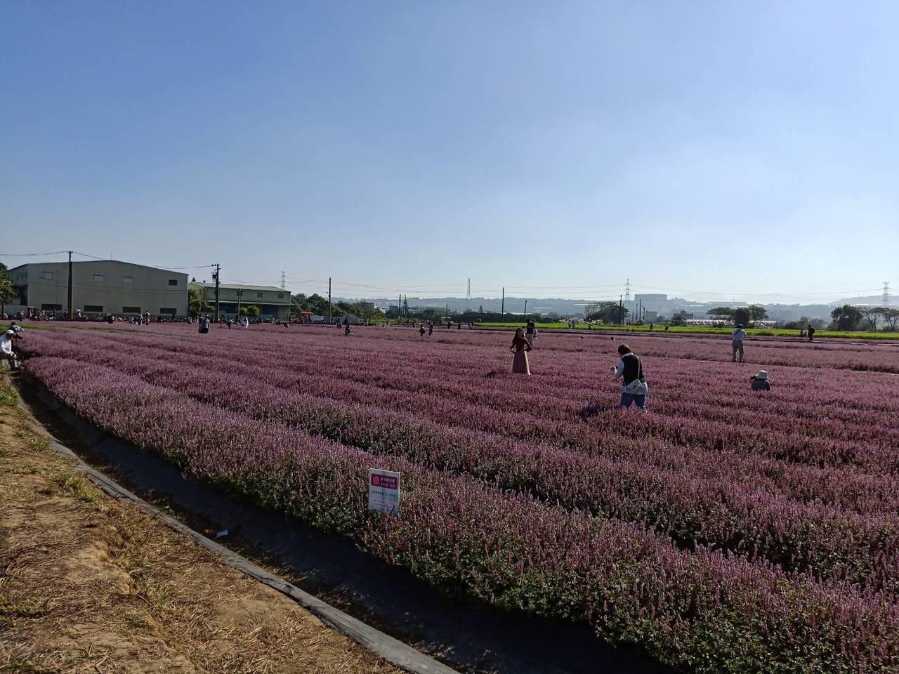 近2公頃的紫色仙草花是今年楊梅花彩節新亮點。圖/楊梅警分局提供