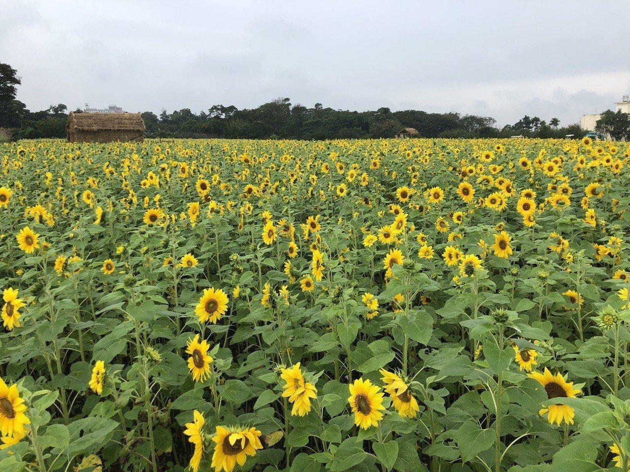 平鎮花彩節的向日葵可以近拍,是美拍熱門景點。記者鄭國樑/攝影