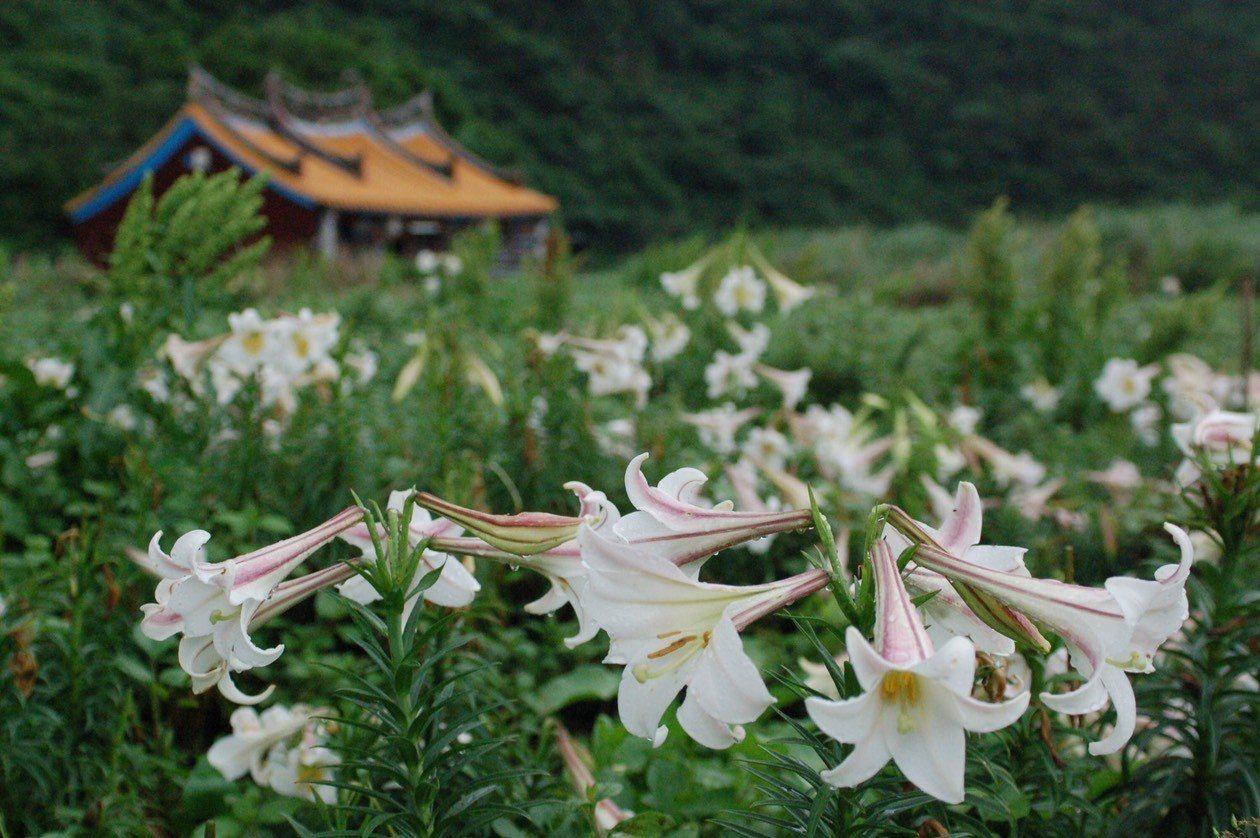 龜山島今天起封島,而島上百合花遍野,每年花季,十分迷人,形成島上花海,東北角暨宜...