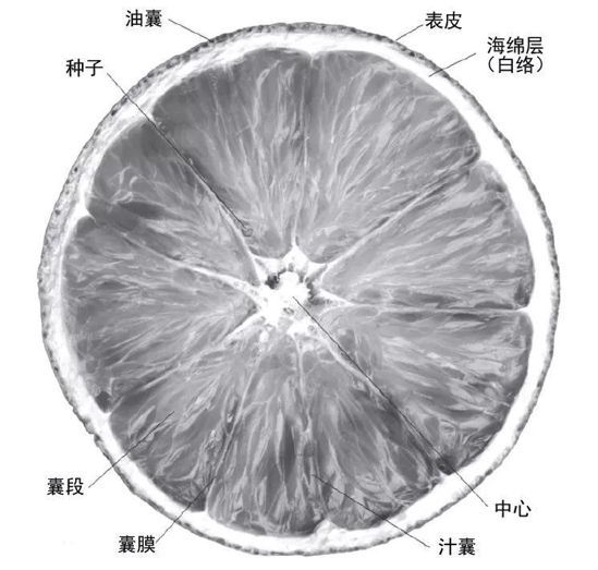 柑橘內部圖。
