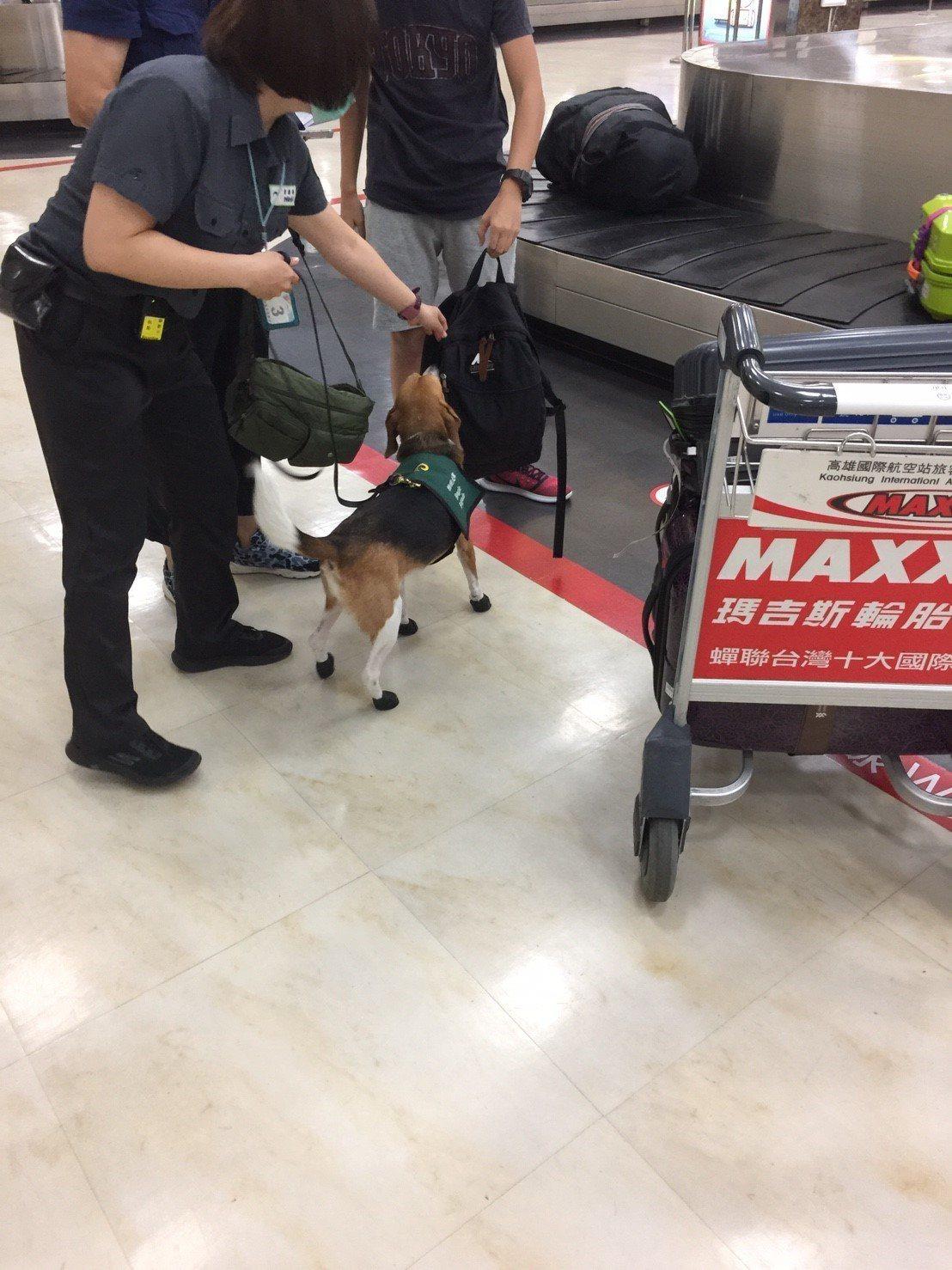 防堵非洲豬瘟,檢疫犬走到腳破得穿鞋?防檢局指出,是因為部分狗狗被評估心性較急、腳...