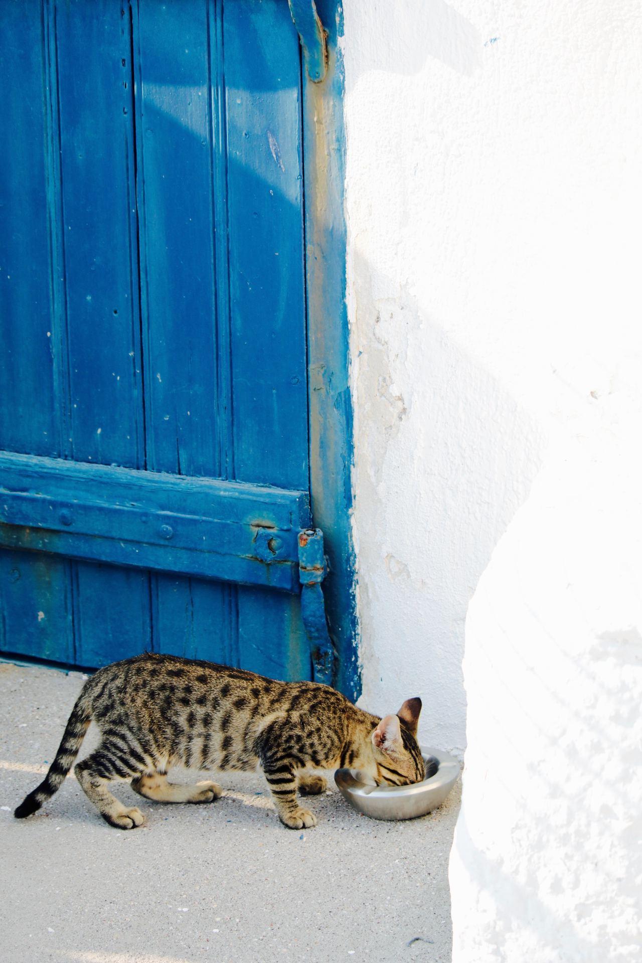 飼主要留意貓咪是否缺水,以避免便秘問題。圖/美國寵物食品協會提供