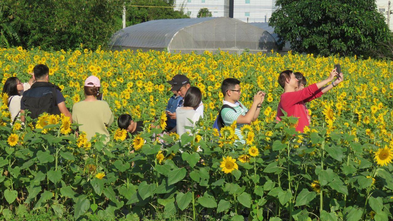 桃園花彩節平鎮場展以「相戀在平鎮」主題,向日葵花海為特色。記者張弘昌/攝影