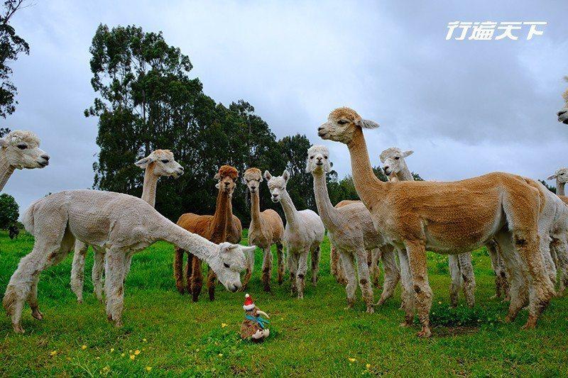 目前共有170隻羊駝的牧場,我們幸運地遇見一年一次除毛後的日子。被除毛後的羊駝顯...