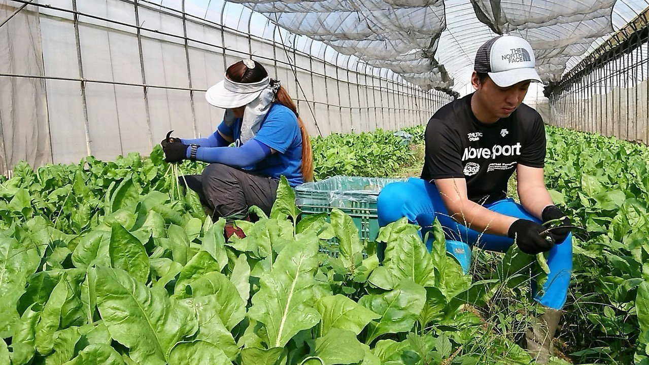 日籍青農筒井聖紀(左)在農場收成有機蔬菜。記者卜敏正/攝影