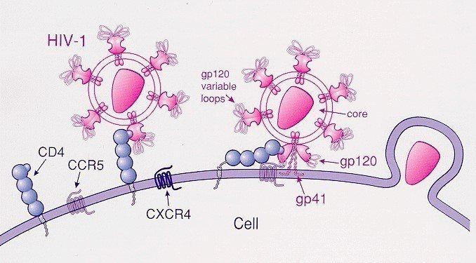 愛滋病毒透過CCR5進入細胞的卡通示意圖。需注意兩點:(1)科學界對於CCR5的...