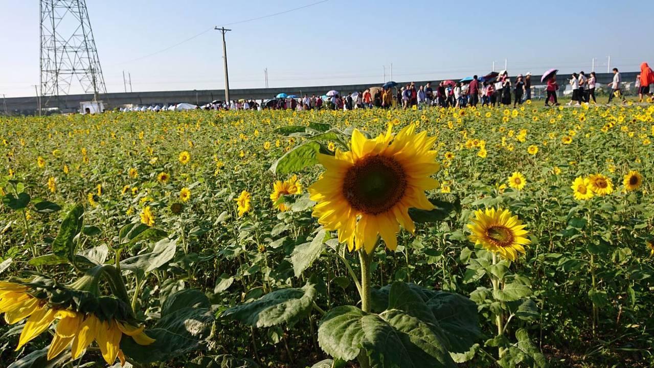 楊梅花菜節向日葵也很有看頭。圖/楊梅區公所提供
