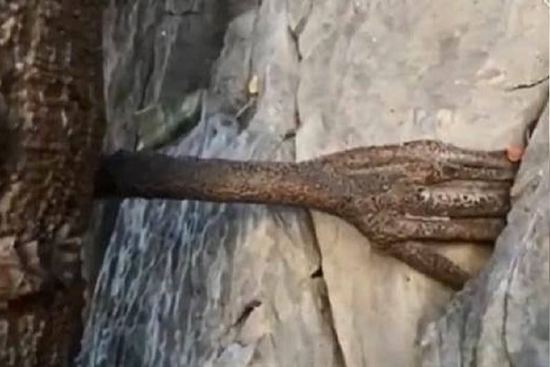 大陸雲南香格里拉地區,一棵三千年樹齡的菩提樹依山而立,沿著山壁而生。仔細一看,樹...