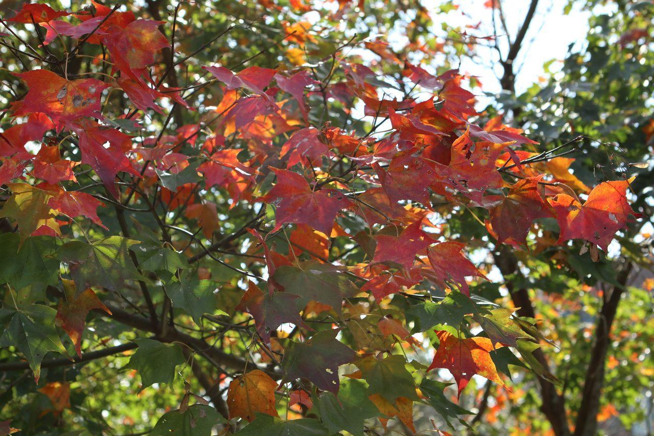湖山綠地旁的楓葉已開始轉紅。圖/公園處提供