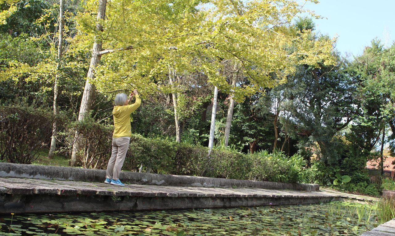 花卉中心的銀杏逐漸轉黃。圖/公園處提供