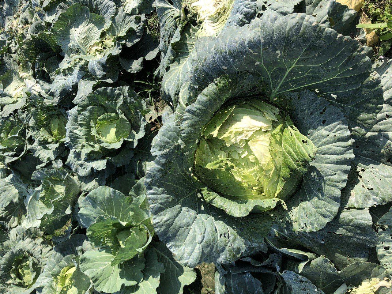 高麗菜盛產,營養豐富。記者林敬家/攝影
