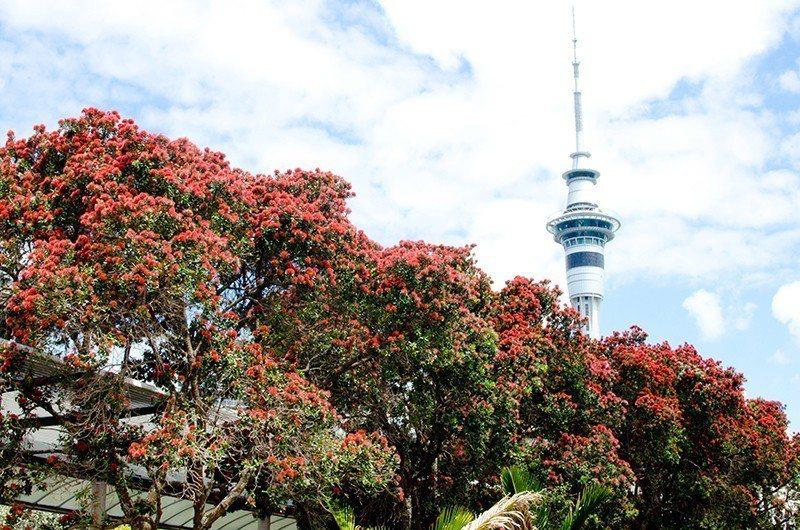 紅綠相乘的顏色也就宣告著紐西蘭的夏日耶誕的到來。  攝影|行遍天下