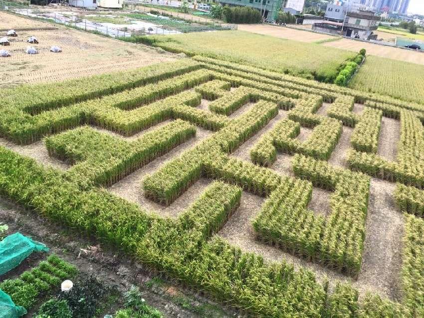 竹東地區農會今年再次舉辦稻田嘉年華活動,特別打造600坪巨型稻田迷宮,邀民眾一起...