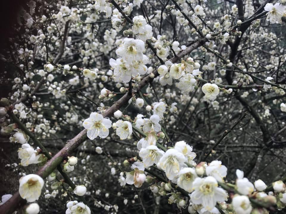 賞梅秘境出爐,今年梅況更勝往年。圖/勝華溫泉飯店提供