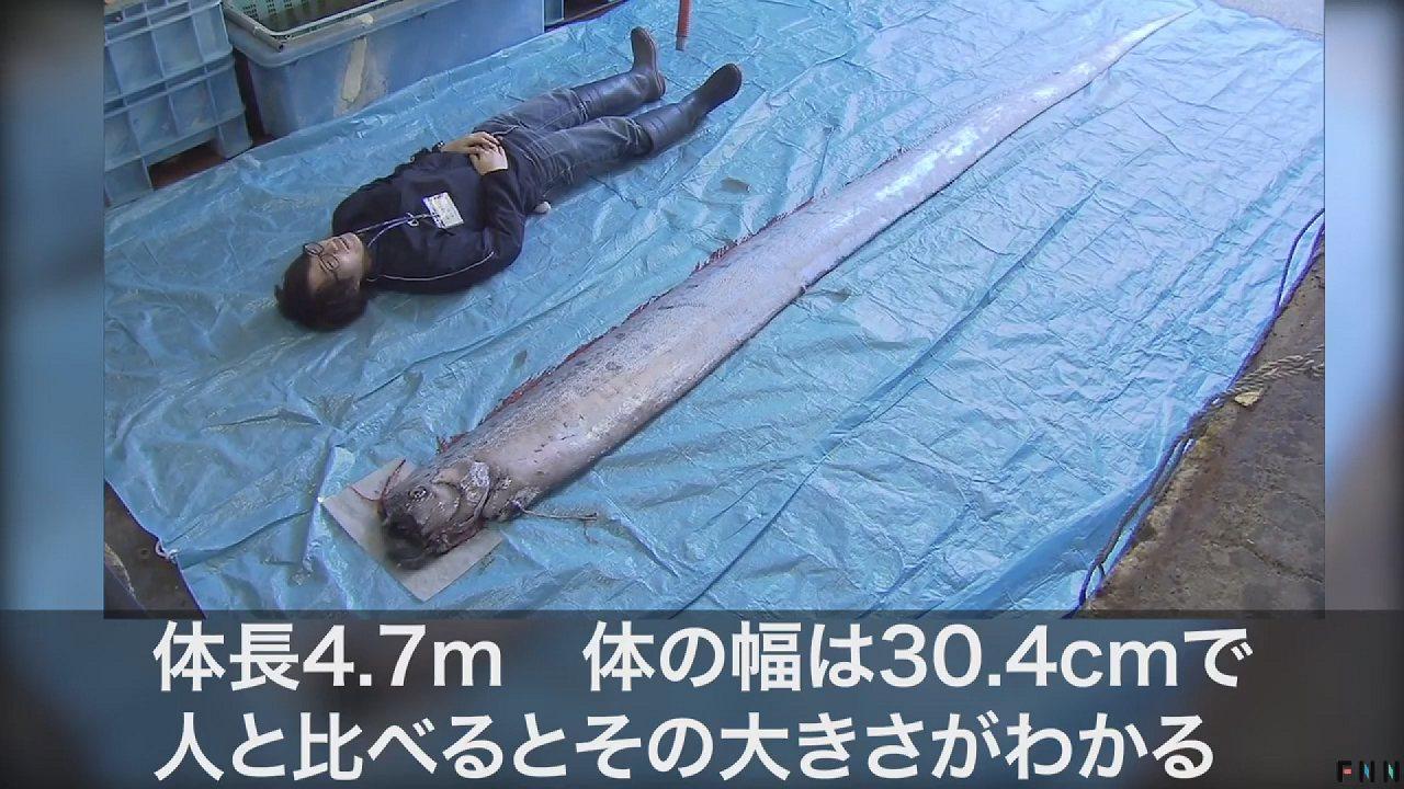 過去被認為是地震前兆的皇帶魚,如今日本研究團隊證實牠們的出現與地震並無直接關聯,...