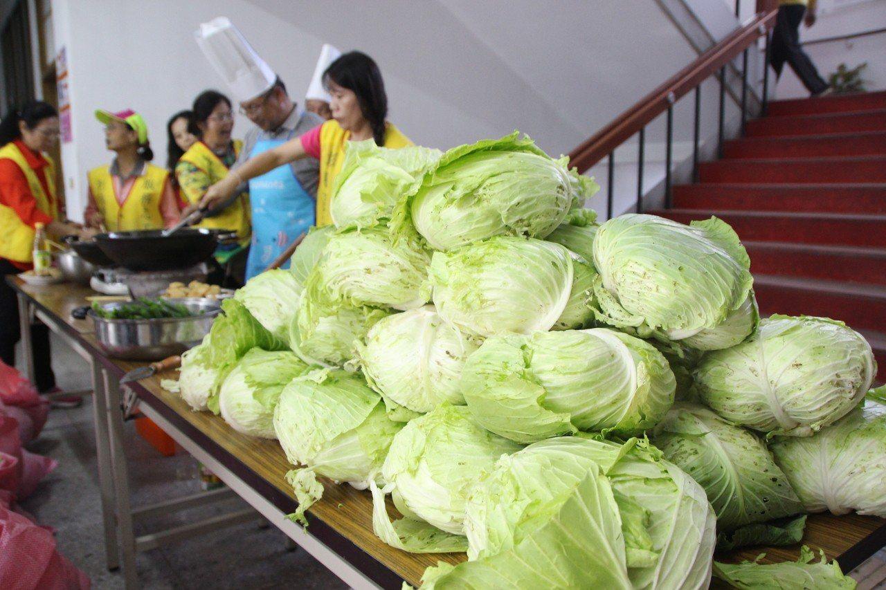 北斗警分局志工今天現採新鮮高麗菜。記者林敬家/攝影
