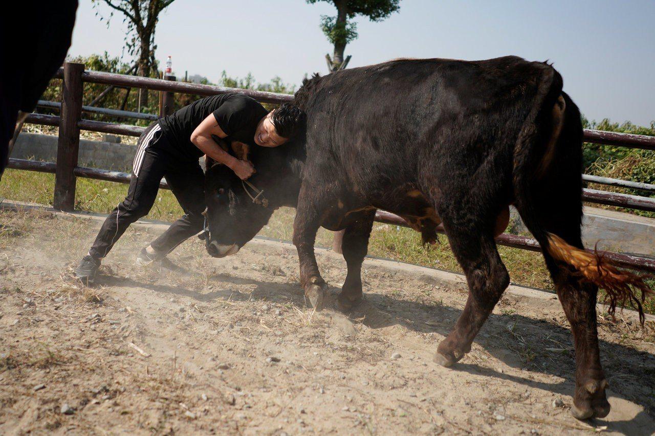 中國浙江省嘉興市,源於回族傳統活動的「嘉興摜牛」 ,被稱為是中國式鬥牛。路透