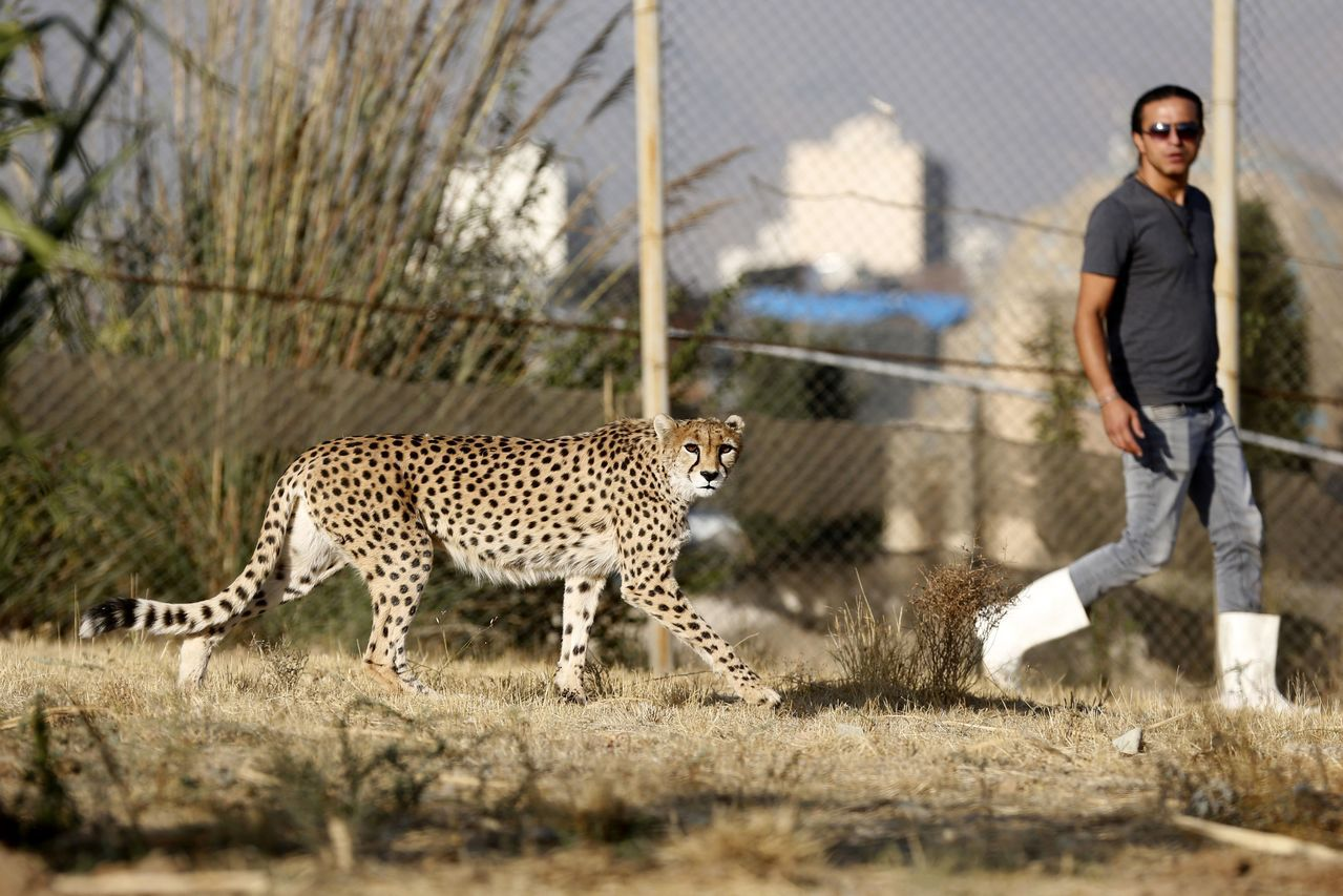 比賽長跑的話,人類可以贏過獵豹。 法新社