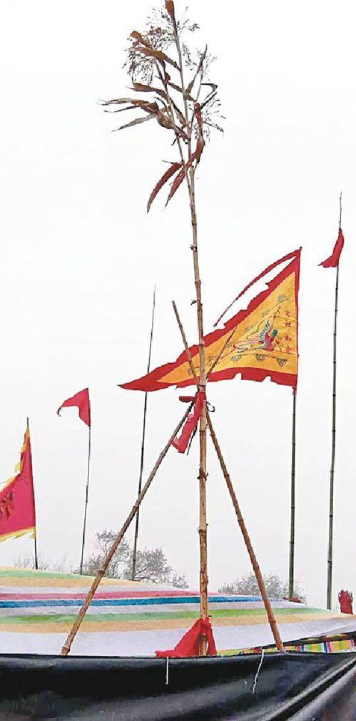 山東菏澤孫莊出現一棵5.7米高的高粱。(取材自中國青年報)
