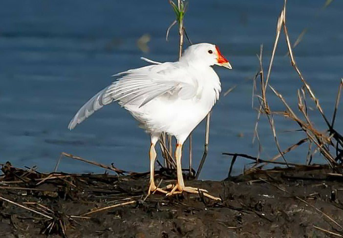 因全身黑色被稱為黑水溪的紅冠水雞,在宜蘭竟被發現浪漫白色版,一身浪漫白羽,鳥嘴基...