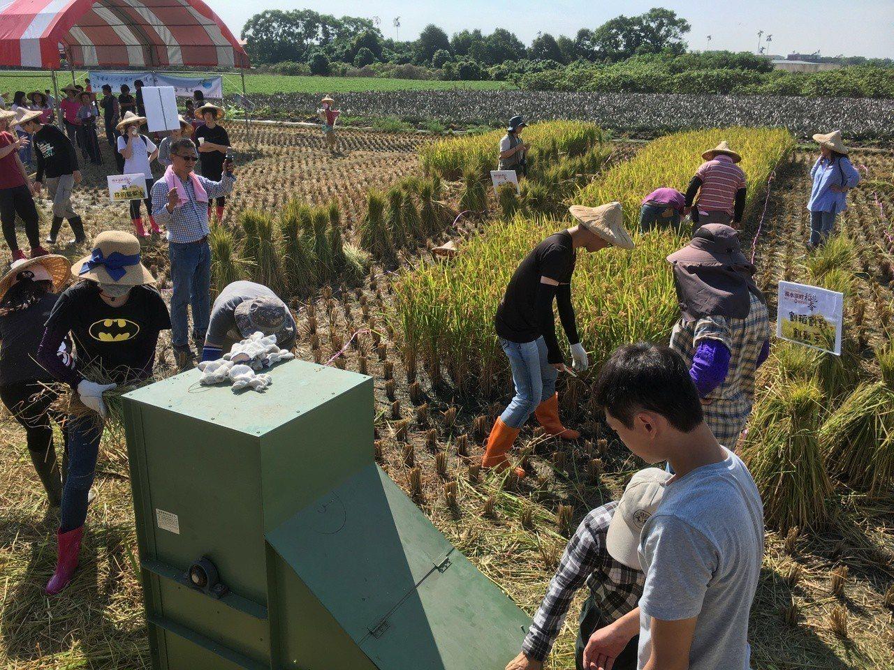 雲林縣第二期稻作已陸續收割,林內鄉農會今天舉辦割稻競賽及品嘗割稻飯體驗活動,重現...