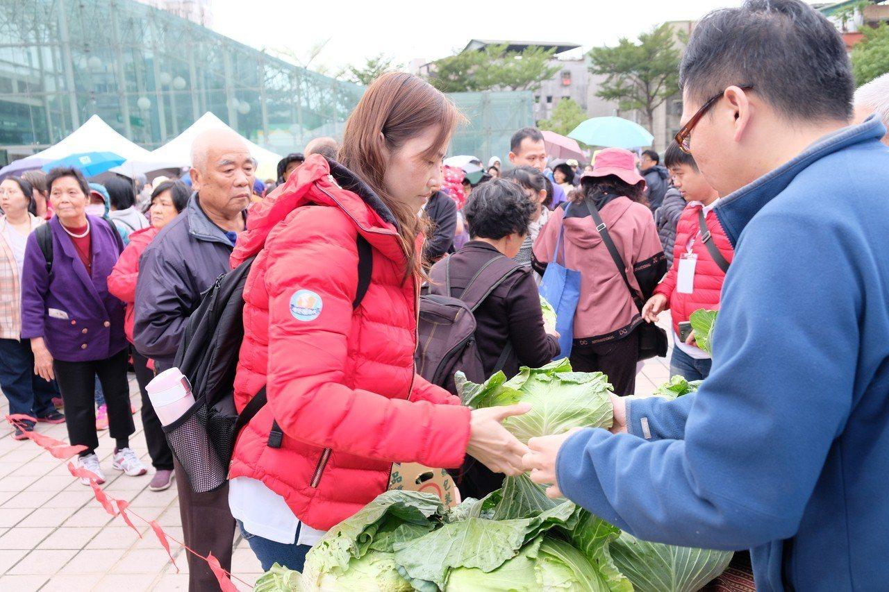 新北市政府今天也準備500顆高麗菜免費發送給民眾。記者張曼蘋/攝影
