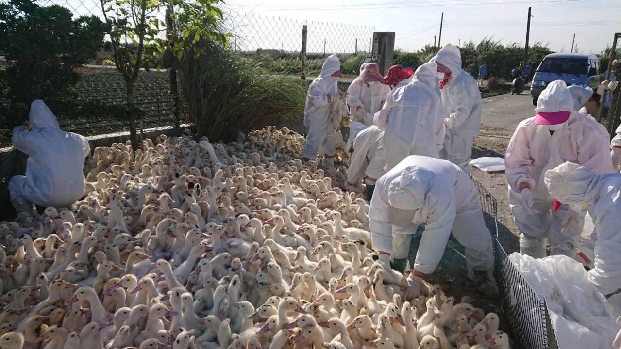 雲林縣再傳禽流感,東勢鄉兩土番鴨場在進行例行性監測時,驗出H5N2亞型高病原性禽...